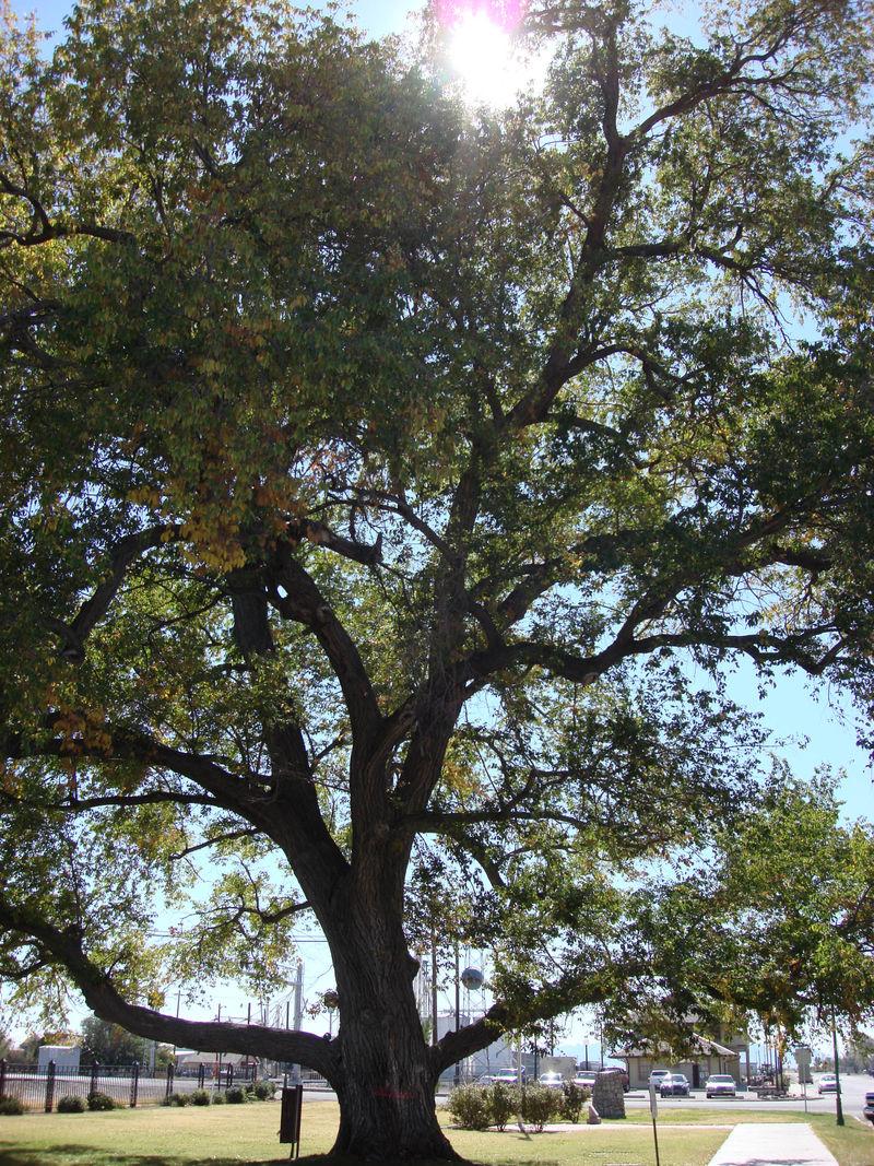Willcox Tree